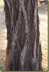 Cooktown Iron Bark Tree