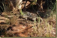 Crocodile Freshwater 1