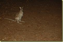 Wallaby at night