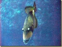 Titan Trigger Fish