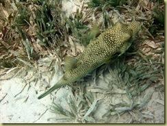 Green Puffer Fish