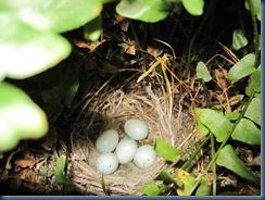 baby bird eggs 6-10-09