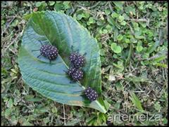 artemelza - formiga de fuxico