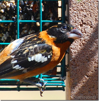 11. Black-headed grosbeak