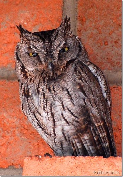 1. western Screech Owl