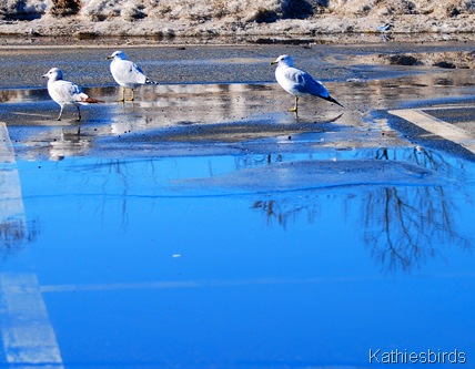 18. gull puddle k