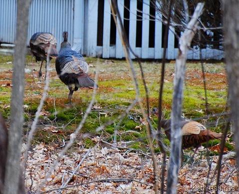 2. Wild turkeys-k