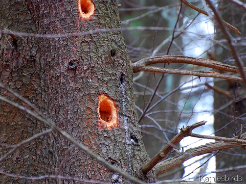 2. Woodpecker holes_kathiesbirds