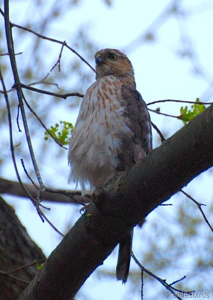 1. Hawk-kab
