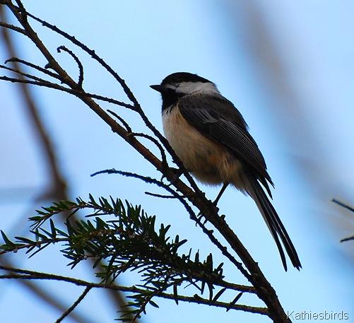 9. Chickadee Concord, MA
