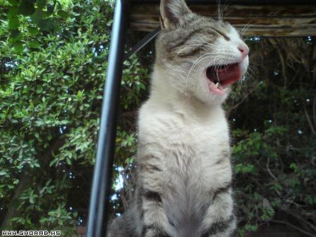 قطة تتثاؤب