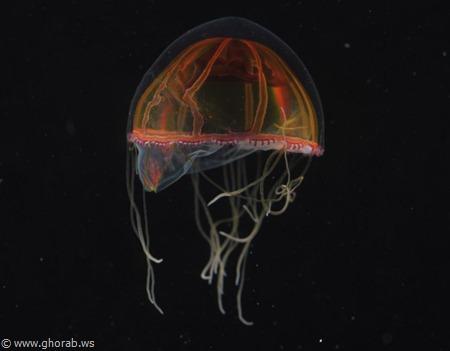 Deepsea Jellyfish قنديل البحر العميق