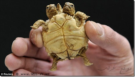 Two_headed_turtle