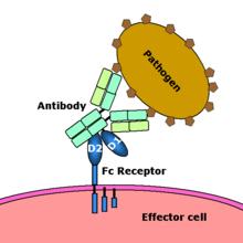 AllergyCases.org: Fc Receptors