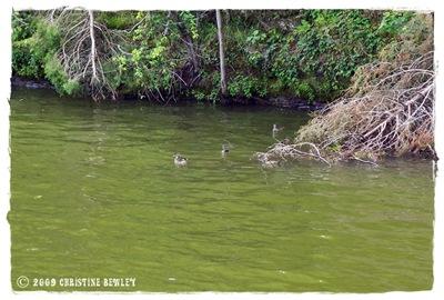 Cute little duckies