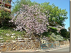 Kukkiva puu kadulla