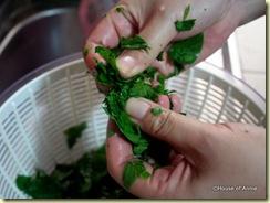hand shredding cangkuk manis leaves