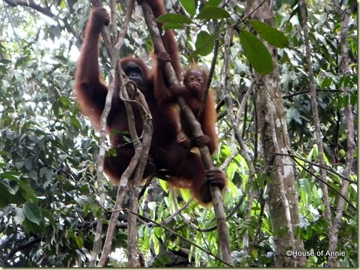 Semenggoh mother and infant orangutan 2