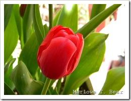 tn_2010-04-27 Tulips (5)