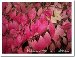 tn_2009-10-26 Burning Bush Leaves