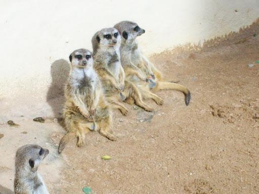 Meerkats chillin