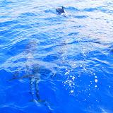 Ca. 12 Delphine schwammen mit dem Boot mit...