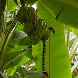 Seltsamer Anhang an der Bananen-Staude!?