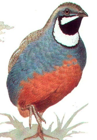 PAINTED QUAIL (male)