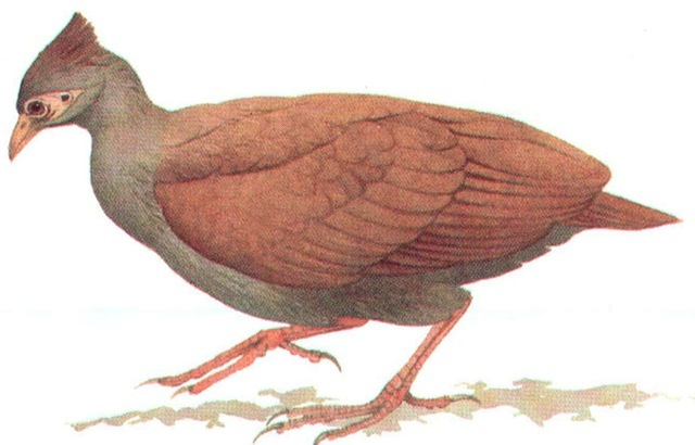 COMMON SCRUBFOWL