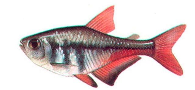 FLAME TETRA (male)