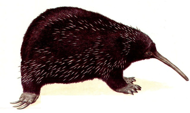 LONG-NOSED SPINY ANTEATER