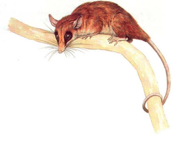 SOUTH AMERICAN MOUSE OPOSSUM