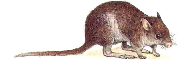 RUFOUS RAT-KANGAROO
