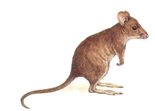 MUSK RAT-KANGAROO