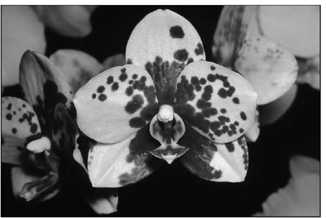 A harlequin-type of orchid, Phalaenopsis Sue Chin.