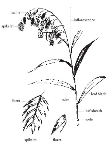 A culm (stem) of wild-oat, Chasmanthium latifolium, with terminal inflorescence. Leaves are attached to the culm at nodes. Each leaf sheath surrounds the culm up to the point where the leaf blade diverges. The inflorescence is an open panicle with unusually large spikelets. Each spikelet contains multiple florets.