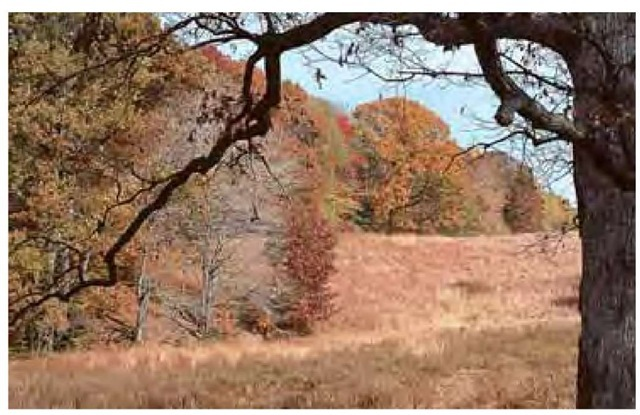 By late October the grasses have finished flowering and set seed. Their foliage has become a rich mix of straw, salmon, and russet hues, complementing the gold and red colors lingering in the autumn foliage of deciduous trees. The oak's dark frame offers dramatic contrast.