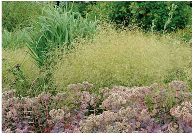 Tufted hair grass, Deschampsia cespitosa 'Goldtau', has the texture of soft clouds drifting through Piet Oudolf's borders at the Royal Horticultural Society's garden, Wisley, in Surrey, England, in mid July.