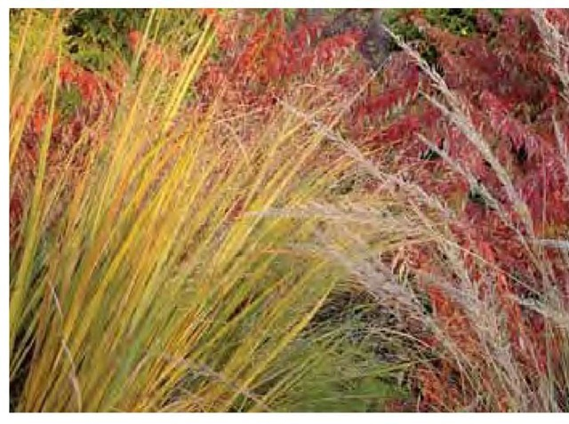 Crossing lines of Panicum virgatum 'Northwind' foliage and Muhlenber-gia lindheimeri flowers create visual intrigue in early November in the author's Pennsylvania garden.