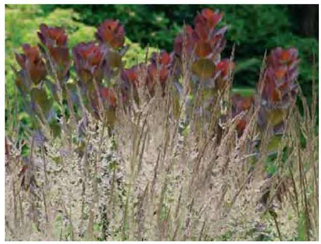 In June the flowering stalks are suffused with dark purple, which is accentuated by the purple smoke-bush, Cotinus coggygria, at Chanticleer in Wayne, Pennsylvania.