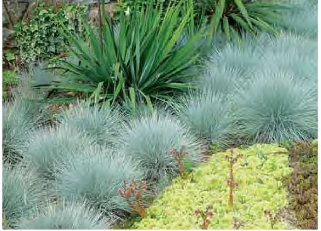 Stunningly distinct from the green of a yucca and the light yellow of sempervi-vums, Festuca glauca 'Elijah Blue' is among the bluest of the blue fescues