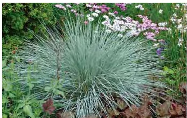 Blue oat grass, Helictotri-chon sempervirens, is a steady, light blue year-round in many climates.