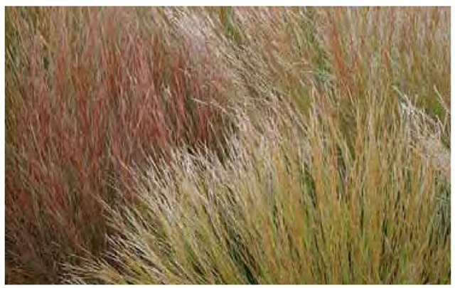Variations in summer foliage color often correspond to variations in autumn and winter foliage colors. These seedlings of little bluestem, Schizachyrium scoparium, were various shades of blue and blue-green during the growing season. Here, in late September in Nebraska, the summer greens have turned copper and the summer blues are dark orange-red.