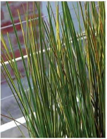 Striped twig-rush, Bau-mea rubiginosa 'Variegata'.