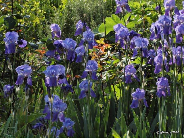 Iris rhizomateux