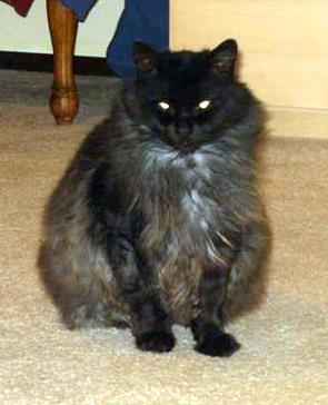black smoke moggie cat
