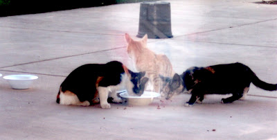 three feral cats eating