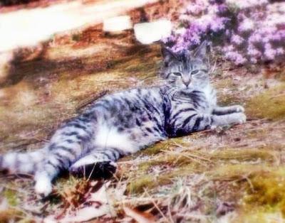 Tabby a feral cat in a garden amongst flowers