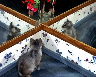 Furby a tamed feral cat surrounded by mirrors