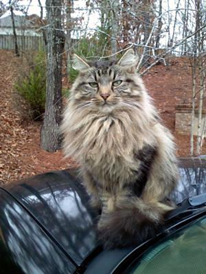 Norwegian Forest cat Mr Big